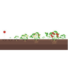 cartoon growth stages of strawberries vector image