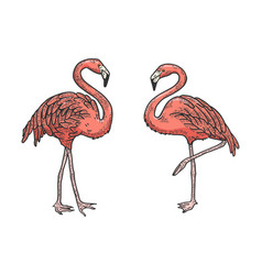 flamingo bird color sketch engraving vector image