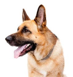 German shepard dog vector