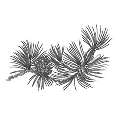 Pine branch and pine cones as vintage vector