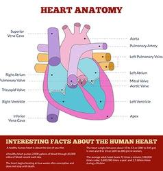 diagram human heart anatomy vector image