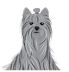 Dog yorkshire terrier portrait of a Domestic Dog vector