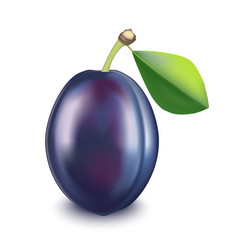 Realistic detailed fruit plum vector