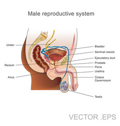 the male reproductive system vector image