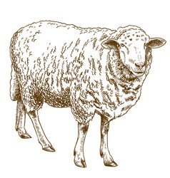 Engraving drawing of sheep vector