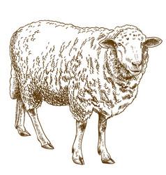 engraving drawing sheep vector image