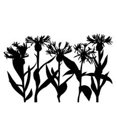 Drawing cornflowers vector