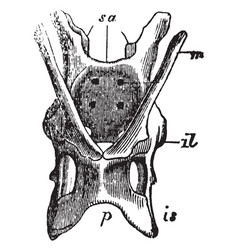 Echidna pelvis vintage vector