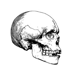 detailed skull etching side view vector image