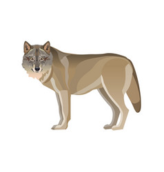 gray wolf standing vector image