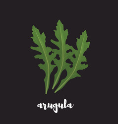 Arugula herb on black background vector