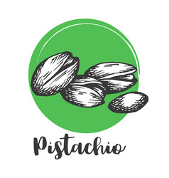 pistachio nut vintage hand drawing of nuts vector image