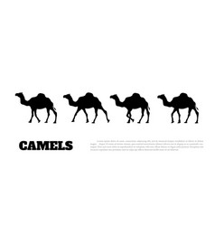 black silhouette of camel on white background vector image