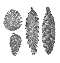 Pine cones pine and spruce as engraving vintage vector image