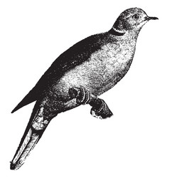 Domestic turtle dove vintage vector