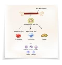 Limbo blood cells in bone marrow Infographics vector image vector image
