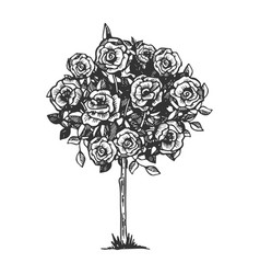 Rose bush engraving vector