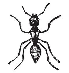 Worker ash ant vintage vector