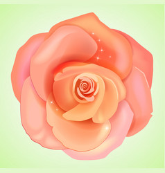 Peach pink rose vector image