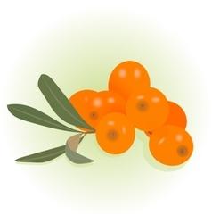 buckthorn vector image