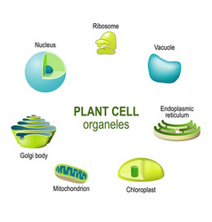 organelles of plant cells vector image