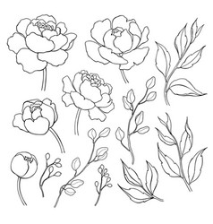 Peony flower and leaves line drawing hand vector