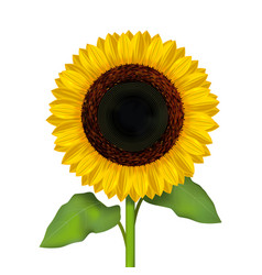 realistic detailed sunflower flower vector image