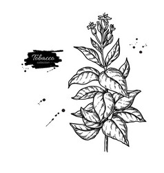 Tobacco plant drawing botanical hand drawn vector