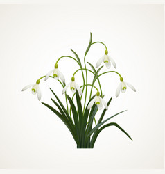 snowdrops on a white background vector image