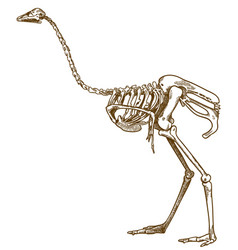 engraving of ostrich skeleton vector image