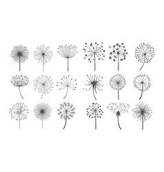 dandelion flowers with fluffy seeds set floral vector image