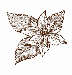 mistletoe plant with large leaves monochrome vector image