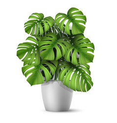 Realistic monstera in a pot vector