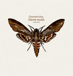 Agrius convolvuli convolvulus hawk-moth is a vector