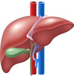 Cartoon human liver and gallbladder vector