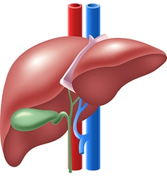 Cartoon of Human Liver and Gallbladder vector