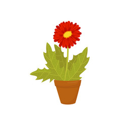 gerbera daisy with red blooming flower and green vector image
