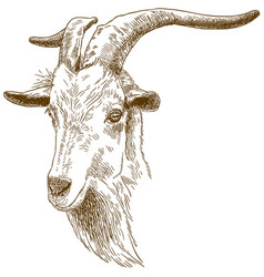engraving of big goat head vector image