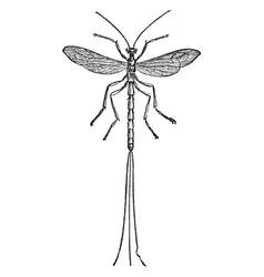 Species of pimpla vintage vector