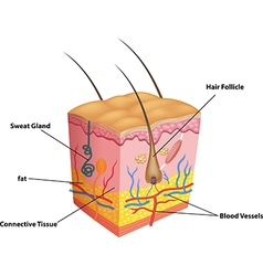 Cartoon of The layers of skin and pores anato vector image