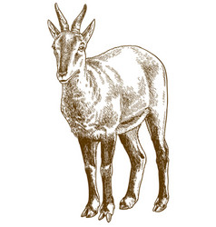 Engraving of chinese goral vector