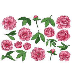 Peony flowers and leaves set vector