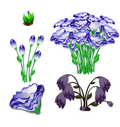 Life stages flowers eustoma purple isolated vector