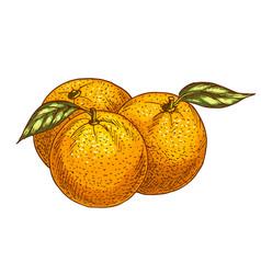 Orange or tangerine fruits sketch icon vector