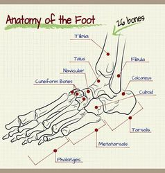 Structure of the human foot - bone vector