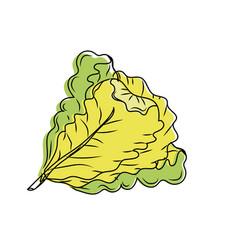 Fresh lettuce natural vegetable nutrition vector