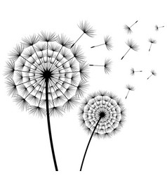 beautiful flower dandelion black and white vector image vector image