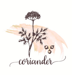 Coriander hand drawn on vector