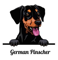 Head german pinscher - dog breed color image a vector