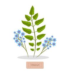 Olibanum leaves and flower vector